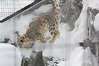 Snowleopard31