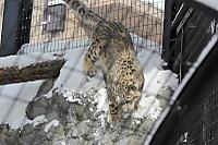Snowleopard32