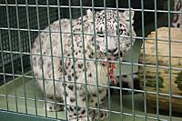 Snowleopard34