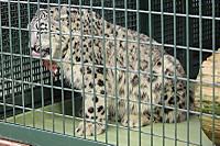 Snowleopard35