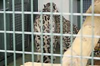 Snowleopard36
