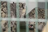 Snowleopard37