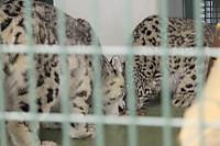 Snowleopard38