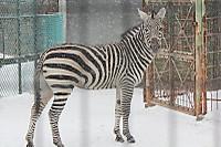 Zebra63