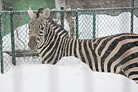Zebra64