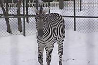 Zebra65