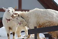 Goats03