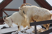 Goats04