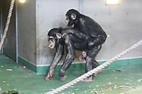 Chimpanzee16