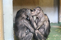 Chimpanzee17