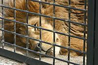 Lion_king01