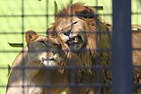 Lion_king03