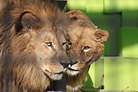 Lion_king04