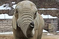 African_elephant08