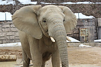 African_elephant09