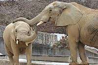 African_elephant10