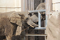 African_elephant14