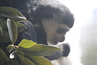 Abyssiniancolobus04
