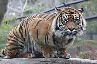 Tiger_y05
