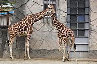 Giraffes_ka01