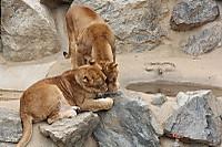 Lions_ka01