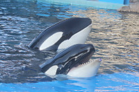 Orca18