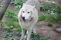 Wolf17