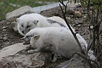 Arctic_fox49