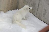Arctic_fox51