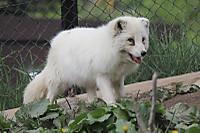Arctic_fox52