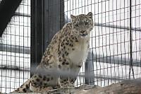 Snowleopard39