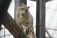 Snowleopard40
