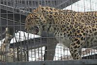 Snowleopard41