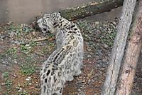 Snowleopard42