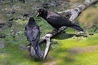 Crow06