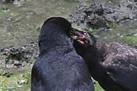 Crow07