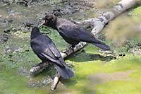 Crow09