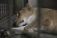 Lion09