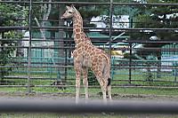 Giraffe24