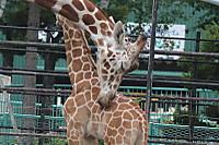 Giraffes55