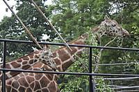 Giraffes56