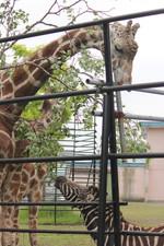 Giraffes57