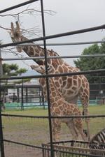 Giraffes59