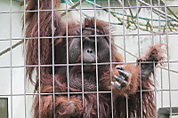 Orangutan37
