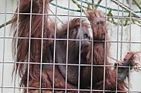Orangutan38