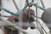 Orangutan39