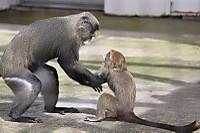 Brazzas_monkey07