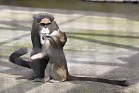 Brazzas_monkey08