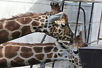 Giraffes60