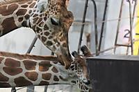 Giraffes61